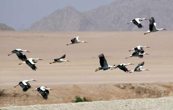 Cigognes blanches photographiées en Egypte