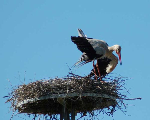 Une cigogne en train de construire son nid