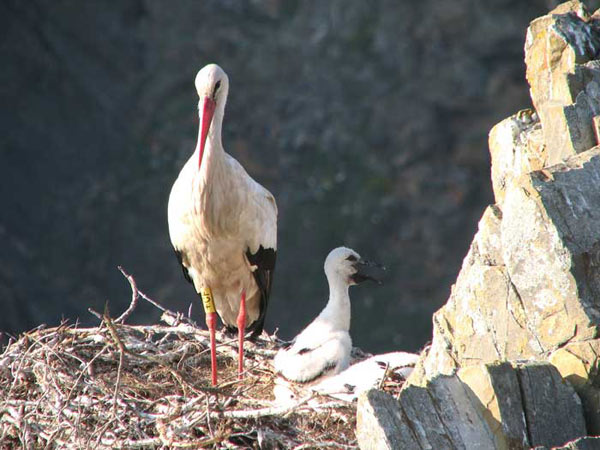 Grâce à la protection dont elle fait l'objet, la cigogne blanche est revenue nicher en Europe