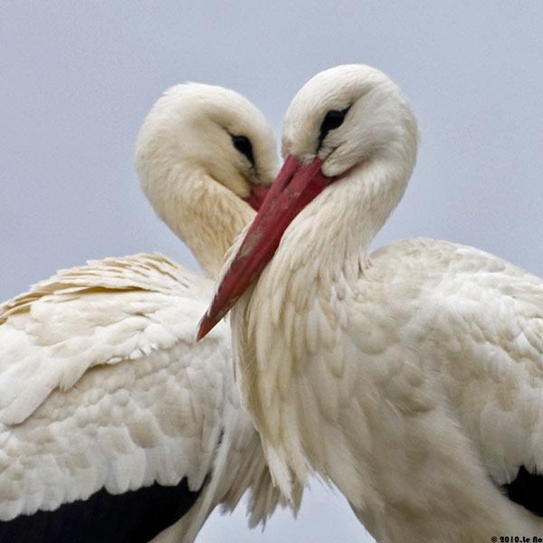 Couple de cigognes blanches