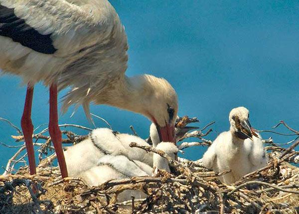 Les cigognes blanchent alimentent leurs bébés au nid