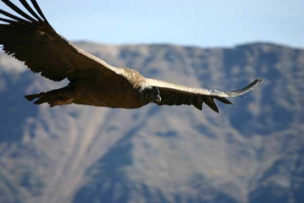 Condor des Andes en plein vol