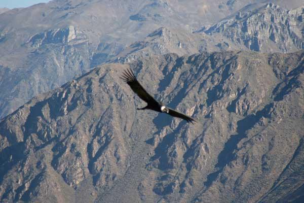 Colca Canyon. Condor des Andes