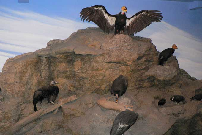 Condor de Californie