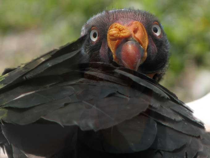 Condor roi