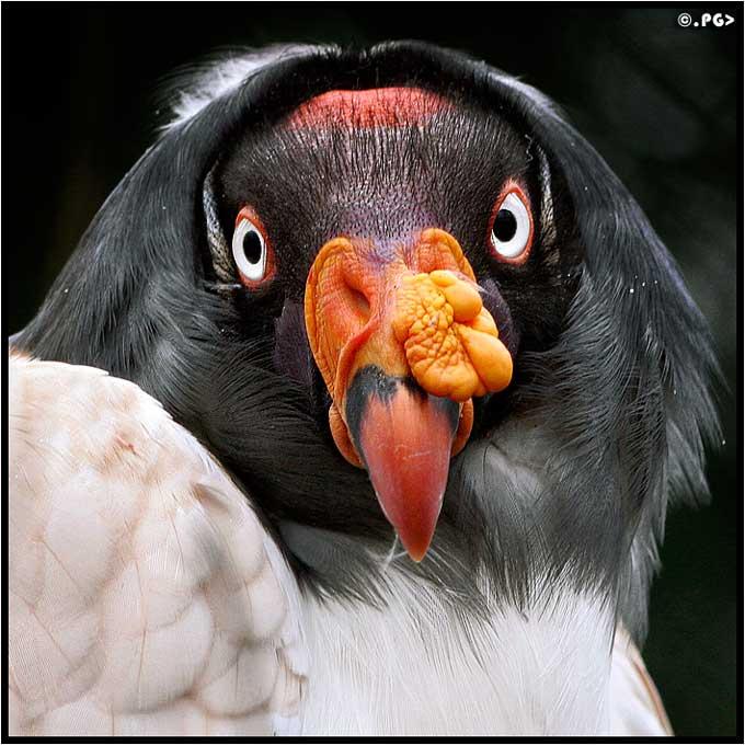 Condor roi. Sarcorhamphus papa