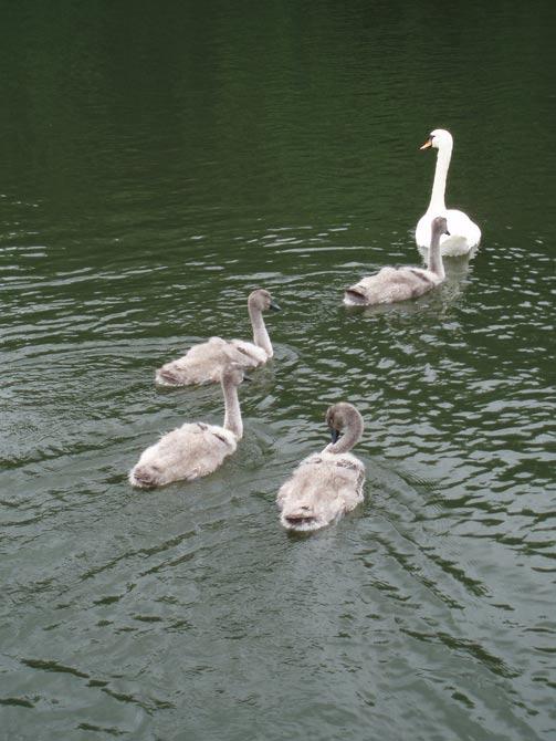 Cygne et ses bébés