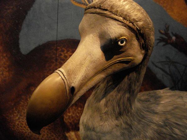 http://www.dinosoria.com/oiseaux/dodo-10.jpg