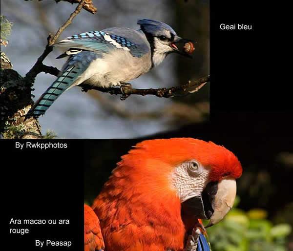 Comparatif entre un ara et un geai bleu