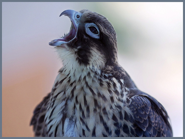 cri faucon pelerin