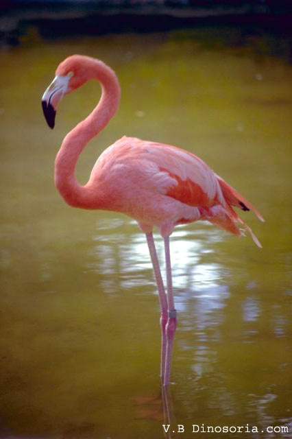 flamant rose phoenicopterus ruber en images dinosoria. Black Bedroom Furniture Sets. Home Design Ideas