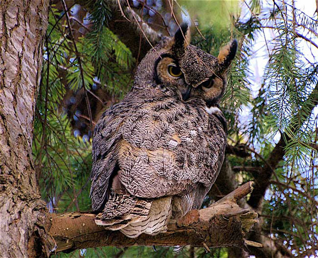 Hibou grand duc de Virginie