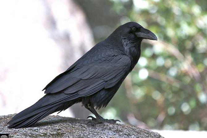 Le grand corbeau