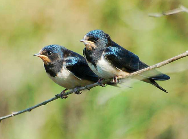 http://www.dinosoria.com/oiseaux/hirondelle_09.jpg