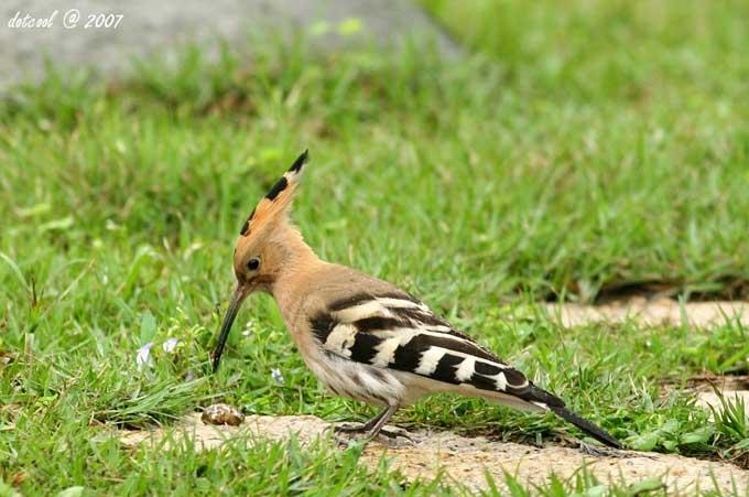 Huppe upupa epops en images dinosoria for Petit oiseau avec houpette