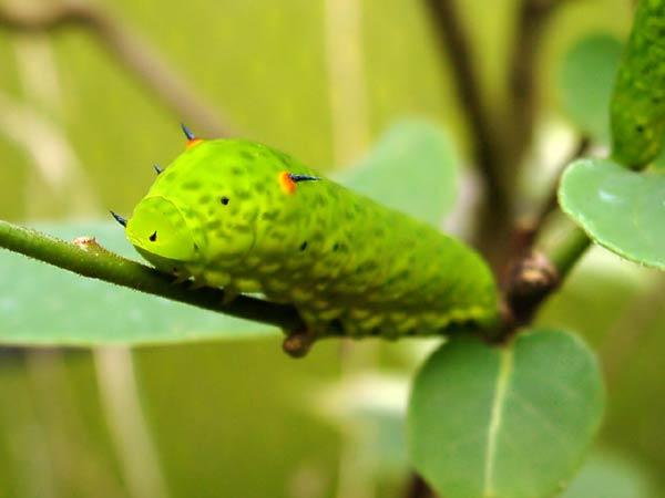 Combien de temps pour qu'une chenille devient papillon