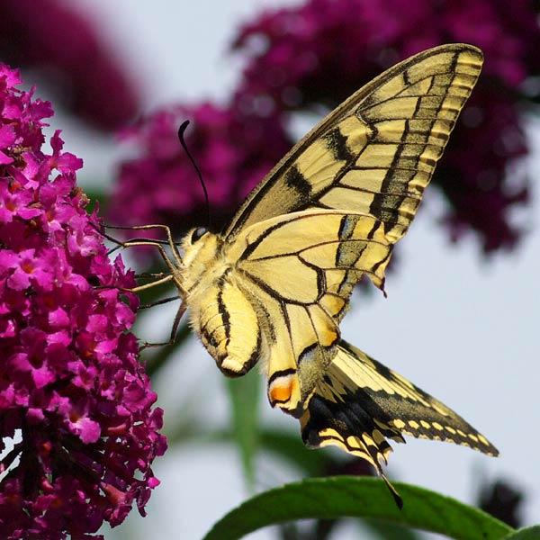 Papillon. Flambé