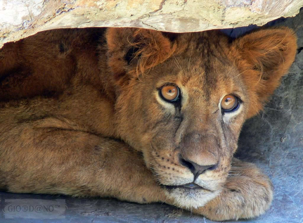 lion-3_jpg.jpg