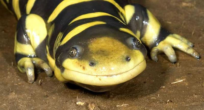 photos salamandre   dinosoria