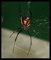 veuve-noire-1_jpg