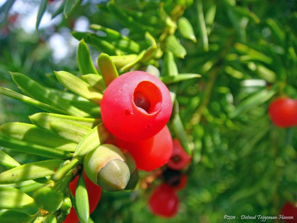 If . Taxus baccata