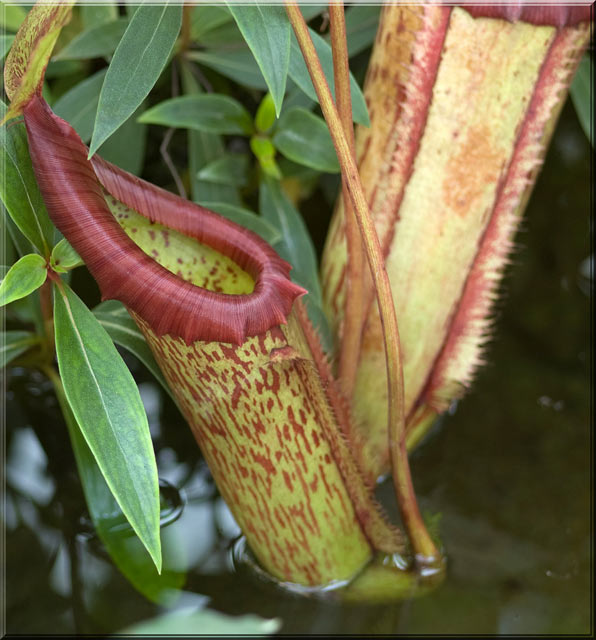 Nepenthes rajah . Plante carnivore