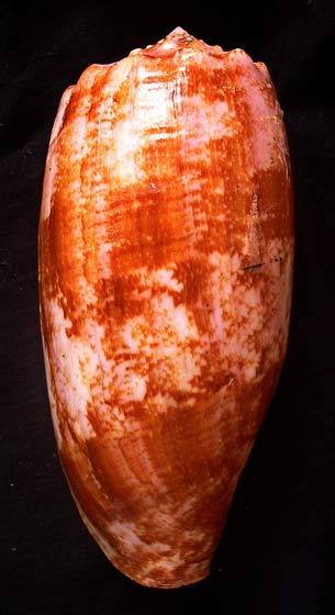 Conus geographus. Cône géographe