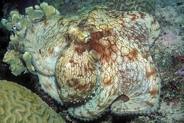 Pieuvre. Octopus vulgaris