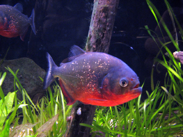 Piranha en images video dinosoria for Poisson rouge aquarium nourriture