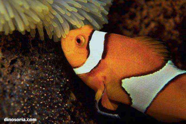 Poisson clown en images dinosoria for Poisson tropicaux pour aquarium