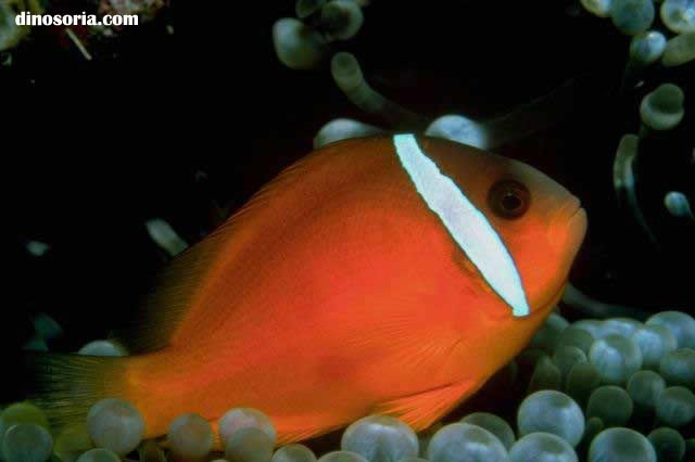 Poisson clown aquarium images for Poisson clown prix