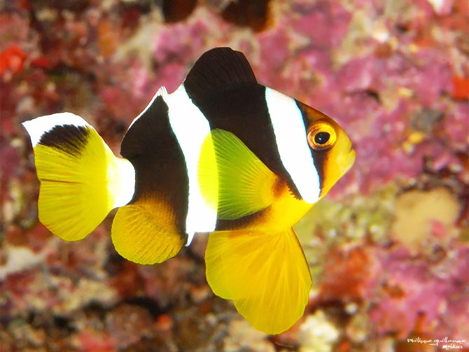 Poisson clown en images dinosoria - Image poissons ...