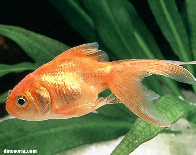 Poissons poisson rouge frawsy for Ou placer aquarium poisson rouge