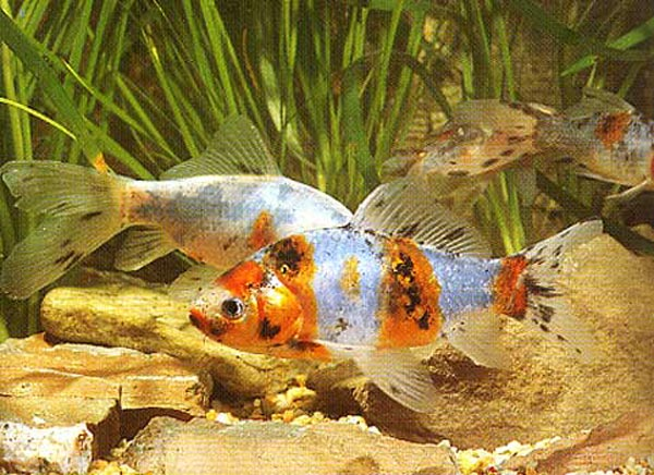Poissons poisson rouge frawsy for Alimentation naturelle poisson rouge