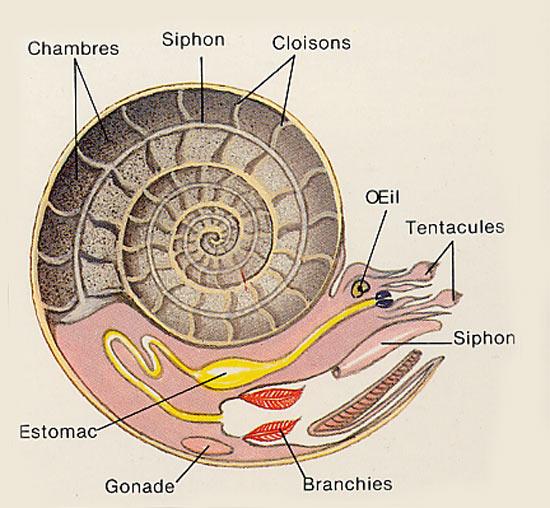 Morphologie Ammonite
