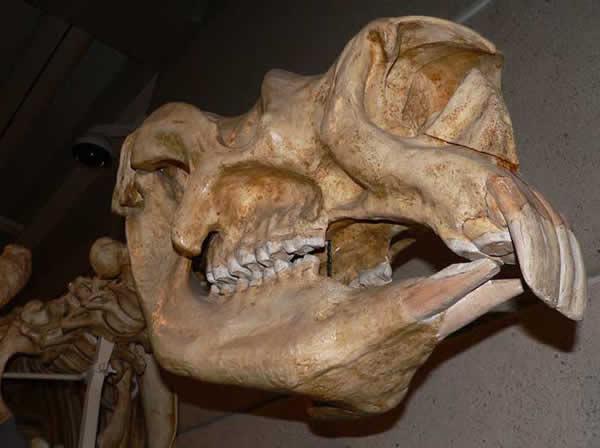 Diprotodon opatum