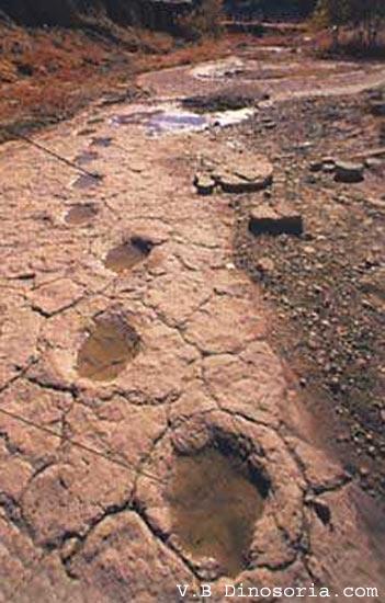 Empreintes de Sauropodes