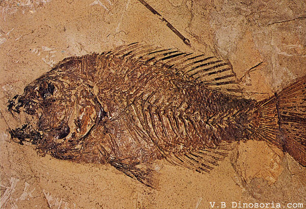 Poisson marin tropical de l'Eocène