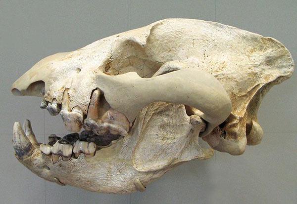 Hyène des cavernes