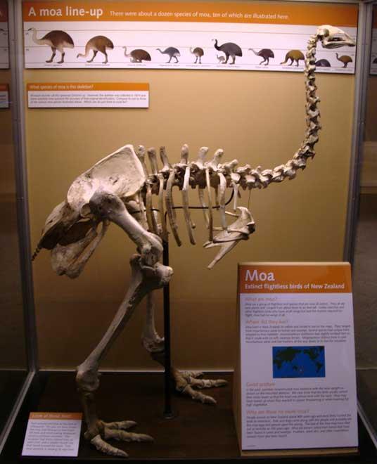 http://www.dinosoria.com/prehistoire/moa.jpg