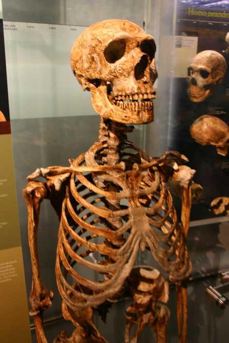 Squelette d'un Homme de neandertal