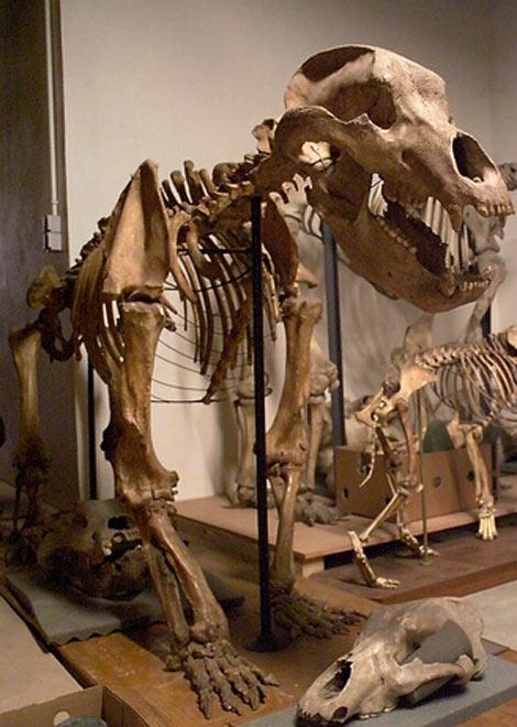 Ursus spelaeus vivait en Europe au Pleistocène