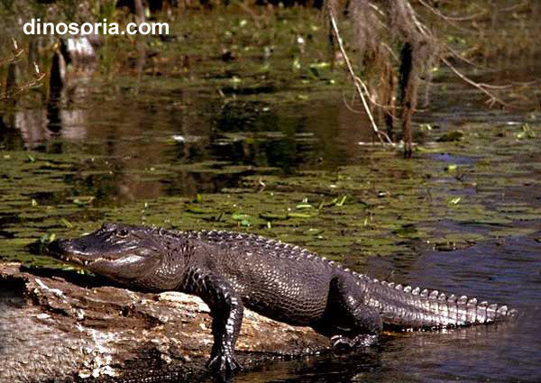 Alligator americain