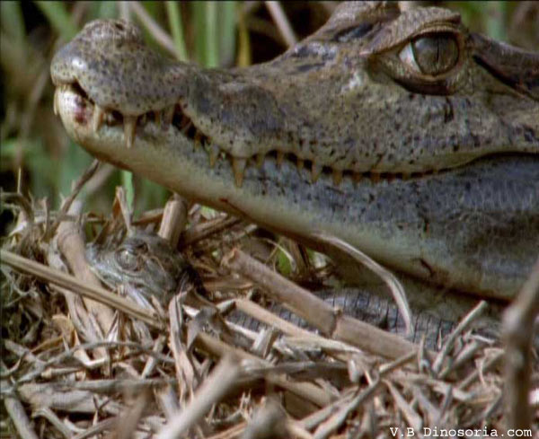 Caiman. Caiman crocodilus