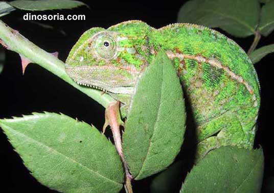Furcifer lateralis