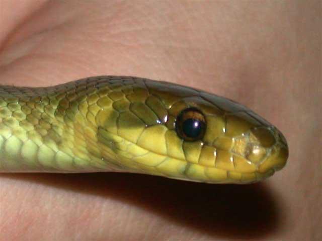 http://www.dinosoria.com/reptil_prehi/esculape2.jpg