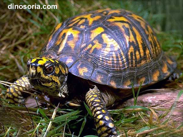 Tortue terrestre tortue de terre en images dinosoria - Images tortue ...