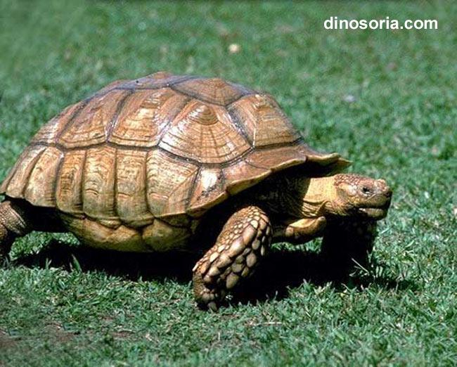Tortue turque testudo graeca en images dinosoria - Images tortue ...