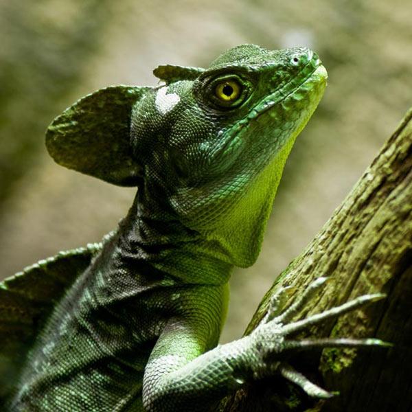 http://www.dinosoria.com/reptiles/basilic-vert-4.jpg