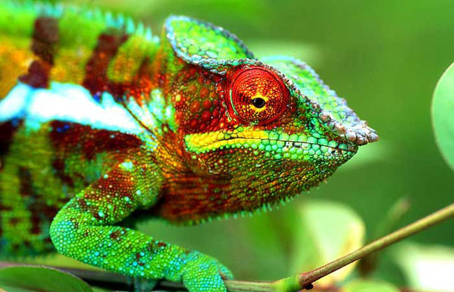 Male Furcifer pardalis